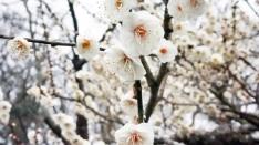 2月1日から梅と桜と「絶景★富士山 まるごと岩本山」