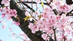 ぎりぎり間に合った沼川沿いの桜