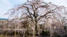 本妙寺のしだれ桜 2016