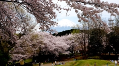 岩本山公園の桜 2016