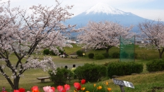 かりがね堤の桜2016