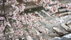 須津川の桜 2016