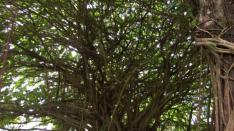 バニヤンツリーの森