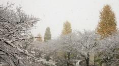 【国立・大学通り】銀杏並木と雪景色 11月の初雪は東京では54年ぶり!
