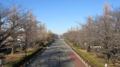 くにたち桜守 1月の活動&大学通りの梅