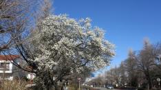 梅の花便り 国立大学通り
