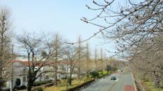 大学通りの桜