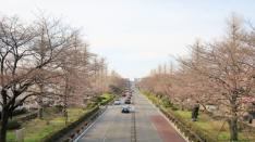 大学通りの桜 2017年4月2日撮影