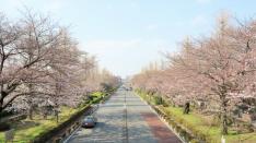 大学通りの桜 2017年4月4日撮影