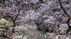 くにたち桜ライトアップ 4/9まで