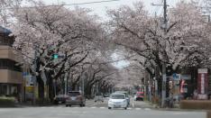 桜満開 国立市大学通り&さくら通り