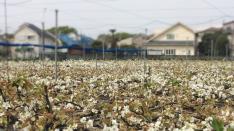 梨の花粉付け 体験ボランティア募集