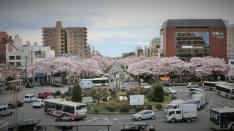 桜満開!国立大学通り&さくら通り(2017年4月7日撮影)
