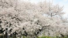 国立の桜 2017