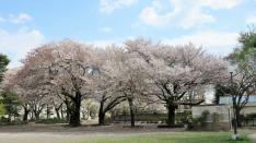 【国立の桜2017】矢川上公園〜さくら通り〜谷保第6公園
