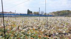 【体験レポ】梨園 梨の花粉付け体験ボランティア