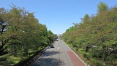 新緑の大学通り