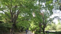 新緑の国立大学通り散歩 ーくにたちベンチ・ハンカチの花ー