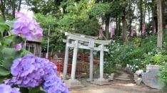 【6/24】あじさい祭り 谷保天満宮 厳島神社にて