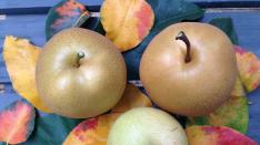 【 秋の訪れ  梨が出来ました 】くにたち・梨園ボランティア・レポート (3)