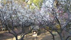 【2/24・25】谷保天満宮 梅祭り