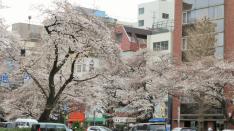 【3/25】国立イベント情報 いよいよ桜ライトアップ!ルッカ&音楽&ワイン&マルシェ