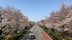国立の桜 開花情報2018 さくら通り&大学通り&矢川通り