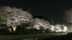 月と桜とピアノが共演♪幻想的な「国立さくらライトアップ」4/8まで