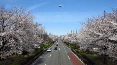 国立大学通りの桜2018 ピアノ生演奏付きのお花見♪
