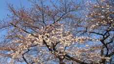 【くにたち桜前線】3/26 国立駅前ロータリー&さくら通り