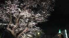 幻想的な夜のお花見「くにたち桜ライトアップ」