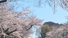 【くにたち桜守】4月の活動のお知らせ