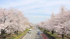 連載【国立暮らし1年目】(4)3キロメートルつづく桜の並木道