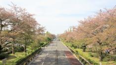 新緑の大学通り 平成31年4月18日撮影