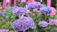 【6/22】あじさい祭り 谷保天満宮 厳島神社あじさい苑