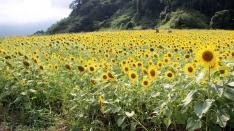 4万本のひまわり畑(≧▽≦)