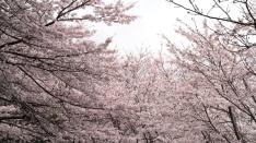 由比寺尾山の桜♪